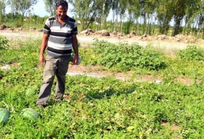 Organik karpuzları Avrupa'a ihraç ediyor