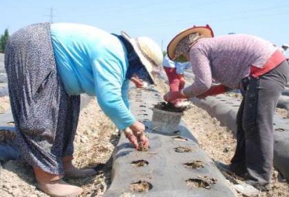 Çilek üretimine 'maliyet' engeli