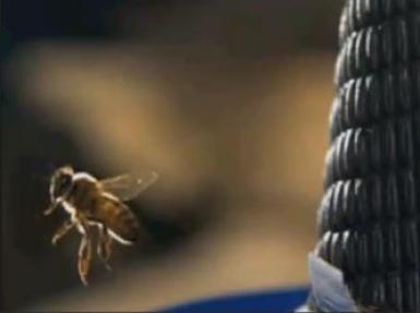Yaban arısı ilk kez böyle görüntülendi!