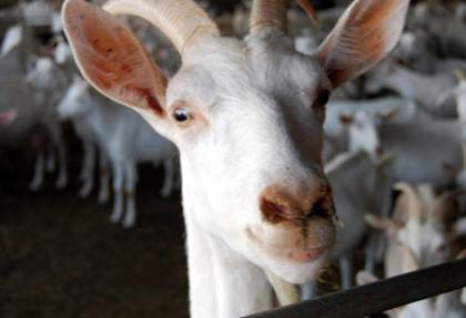 Bu keçilerin sütü altın değerinde