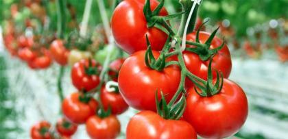 domates yazin daha pahali olacak!