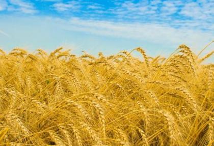 TÜİK'den flaş açıklama!.. Buğday üretimi!..