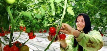 -35 dercede domates uretiyorlar